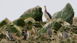 Manchots et pelicans