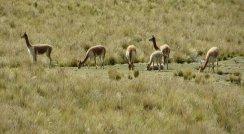 Harde de vigognes sauvages