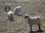 Moutons à pompoms, couleurs variables selon les propriétaires !