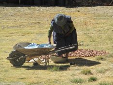 Foulage aux pieds des pommes de terre