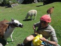 Attaque de Lamas omnivores !
