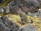 Viscache