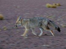 Un renard au matin