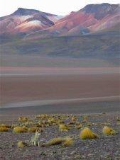 Renard des Andes