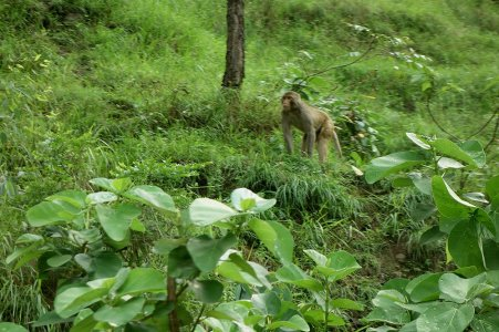 Les singes sur la route de Shimla