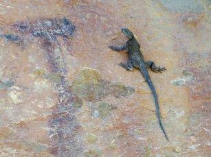 Sorte de gecko sur la falaise le long de la route