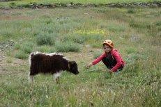 Petit dzo (croisement de yak et vache)