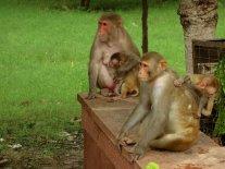 Singes... un peu partout à Agra !