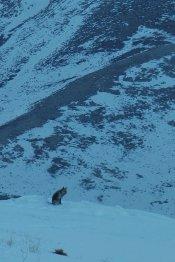Encore un renard argenté en recherche d'en-cas, prêt de l'abri