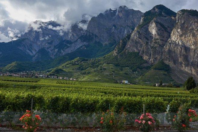 Le Valais suisse et ses vignobles, à Chamoson. Les rosiers sont placés en bordure des vignobles pour détecter d'éventuelles maladies.