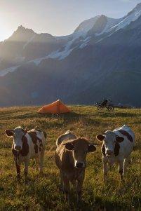 Les vaches au reveil