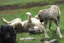 Les fameux chien de berger du Caucase