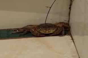 Crabe dans les douches !
