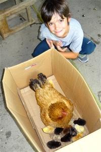 Une poule et ses poussins à Mele