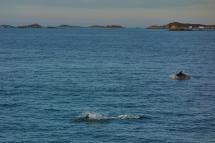 Dauphins dans le sillage du bateau